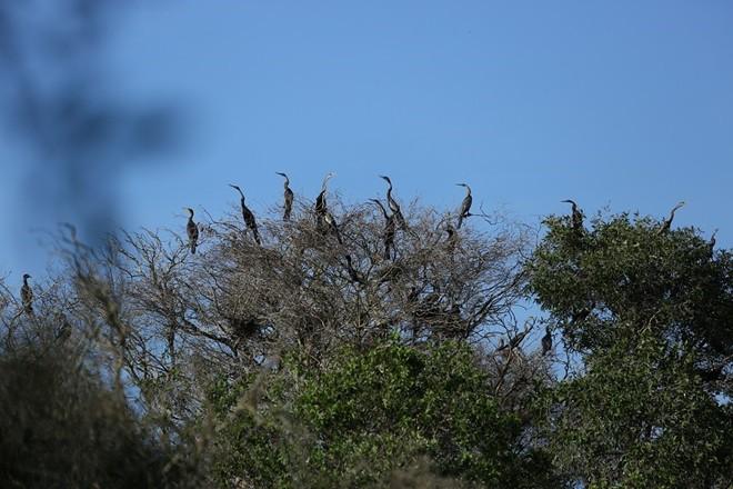 Hơn 10.000 con chim điên điển đang sinh sống tại Tràm Chim.