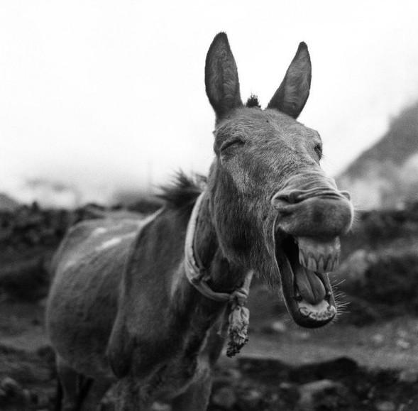 Nụ cười bừng sáng trên khuôn mặt của một chú lừa (Tác giả: Chee Chang F).