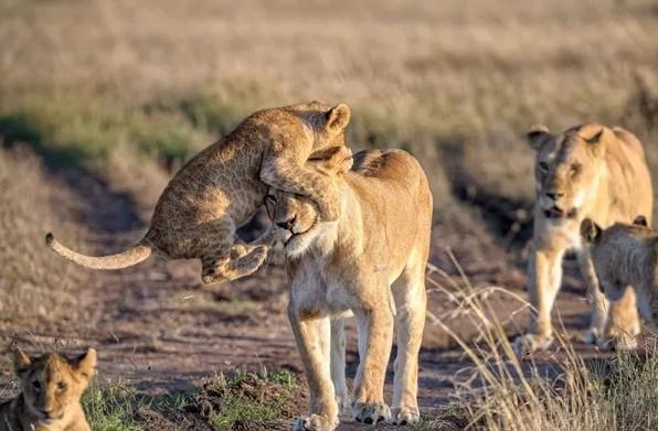 Bức ảnh ghi lại khoảnh khắc chú sư tử nghịch ngợm leo lên đầu mẹ tại vườn quốc gia Naboisho Conservancy, châu Phi cũng là một trong những bức ảnh được đánh giá cao tại cuộc thi năm nay. (Tác giả: Marja Schwartz)