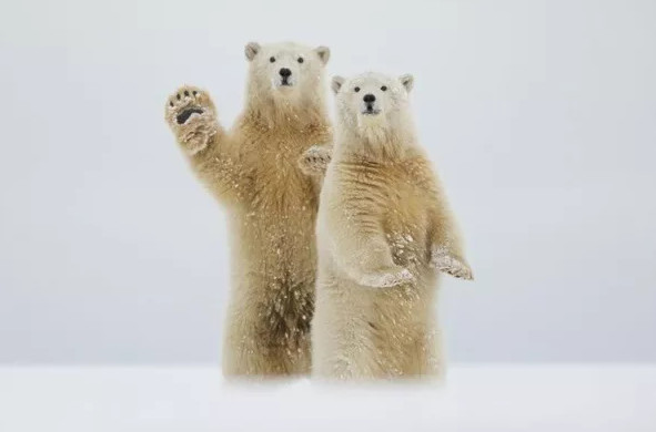 Màn chào đón của những chú gấu Bắc Cực. (Tác giả: Laura Keene).