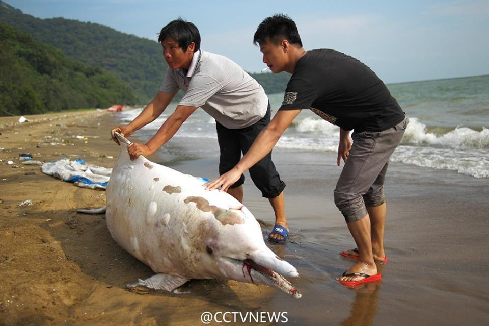 Con cá heo trắng quý hiếm này dài khoảng hơn 2m, nặng khoảng 118kg. (Nguồn: CCTV)