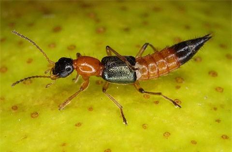 kiến ba khoang được coi là một loài kiến độc hại đối với con người