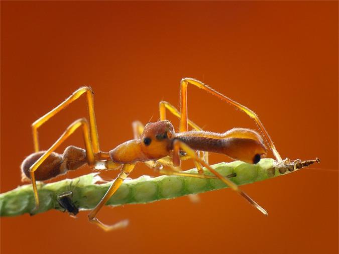 Nhện kiến có thể giả trang như kiến vàng.