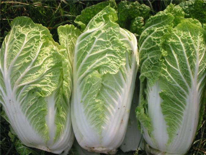 Áp dụng đúng kỹ thuật trồng cây cải thải sẽ cho sản phẩm đạt năng suất cao, chất lượng tốt