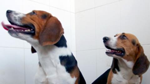 Siêu chó Hercules (trái ) và Tiangou