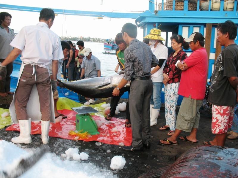 Quy trình công nghệ khai thác cá ngừ bằng lưới vây đuôi đã được đưa vào ứng dụng. Ảnh: Mai Khuê