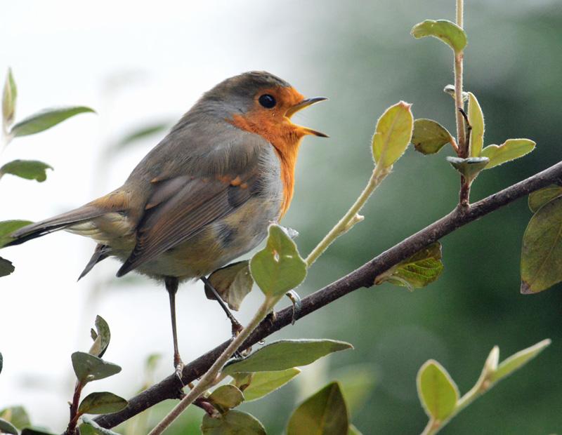 Cách phát ra âm thanh của loài chim và con người là tương đồng. Ảnh: Kqed