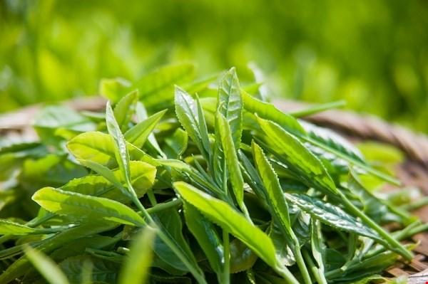 Trà xanh: Trà xanh chứa dinh dưỡng thực vật polyphenol, là chất chống oxy hóa giúp giảm chất phốt pho, cải thiện hơi thở. Acid tannic có trong trà còn có thể giúp chân bạn khô ráo, giảm mùi hôi chân.