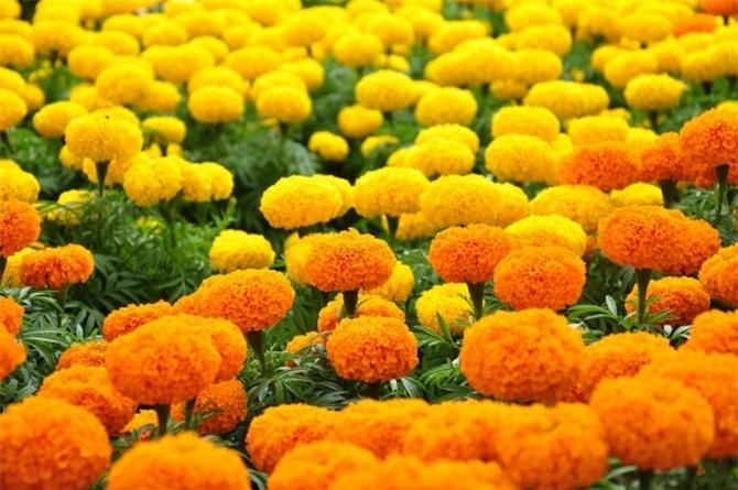 Những loài hoa ngày Tết nên chưng trong nhà để đón tài lộc - Ảnh 7