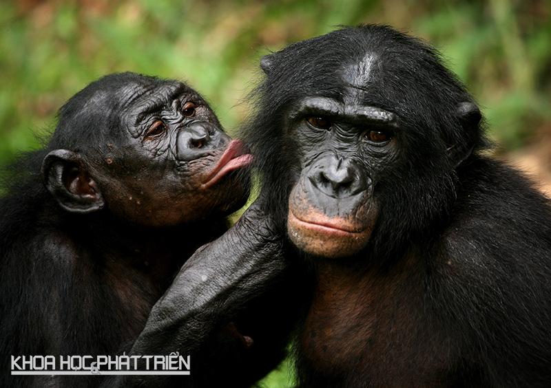 """Với khỉ Bonobo, """"hãy yêu nhau đi và ngừng gây chiến"""" là câu thần chú. Thay vì chiến đấu, chúng thường giao hợp - bao gồm cả tình dục đồng giới - để giải quyết tranh chấp. Ảnh: Ibtimes"""