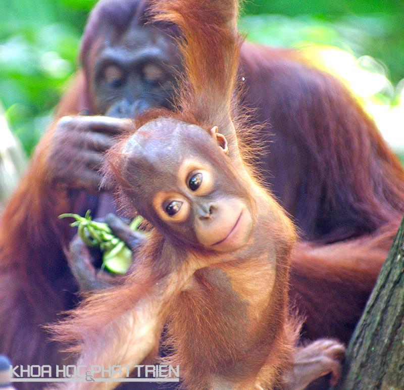 Đười ươi là loài động vật có tuổi thơ dài nhất trên thế giới. Đười ươi con được chăm sóc cho đến khi chúng 6 tuổi và thường được ở với mẹ thêm vài năm nữa. Ảnh: Myglobaleventreports