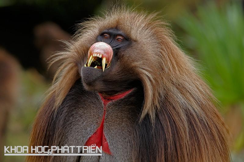 Khỉ Gelada đực có một vết màu đỏ đặc trưng trên ngực. Dấu vết này càng rực rỡ, khả năng sinh sản của chúng càng cao. Ảnh: Iyufera