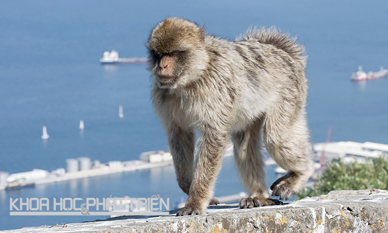 Khỉ Barbary của Gibraltar (thuộc Vương quốc Anh) là đại diện duy nhất của khỉ hoang dã ở châu Âu với khoảng 300 cá thể. Để tránh việc chúng trở nên phụ thuộc vào con người, hành vi cho chúng ăn sẽ bị phạt 800USD (gần 17 triệu đồng). Ảnh: Guim