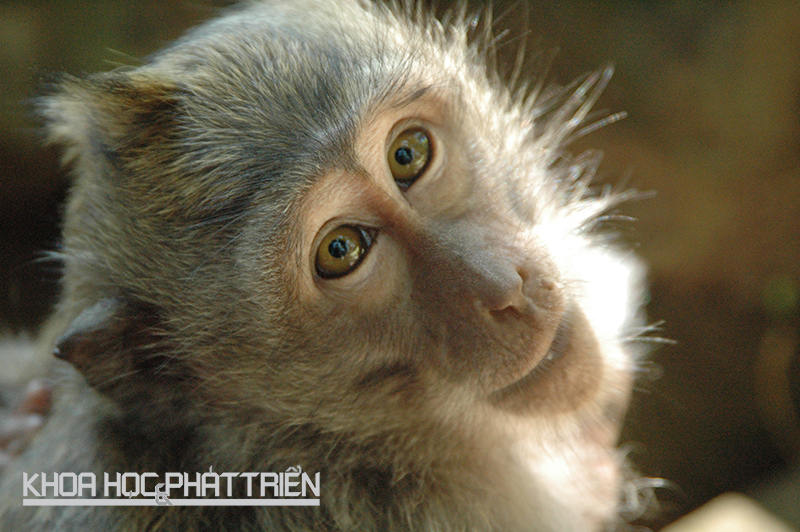 Khỉ đuôi dài khá thông minh. Chúng tự tạo ra các công cụ riêng để làm việc, ví dụ như mở vỏ trai, sò. Chúng còn biết nhổ lông trên đầu để làm chỉ tơ nha khoa. Ảnh: Wiki