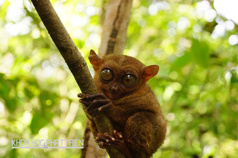 Khỉ lùn Tarsier - một loài linh trưởng sống về đêm, có cơ thể nhỏ bé nhưng đôi mắt rất lớn - kích cỡ tương đương với bộ não, giúp chúng quan sát vào ban đêm. Ảnh: Dreamermom