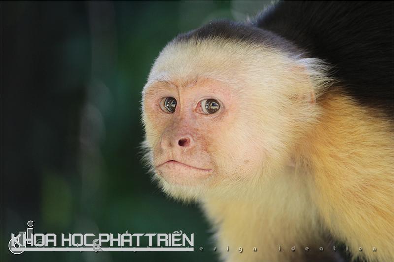 """Được coi là loài khỉ thông minh nhất, khỉ mũ có khả năng sử dụng công cụ, nhận ra hình phản chiếu của chính mình trong gương và tiếp thu nhanh. Đó chính là lý do Hollywood thường chọn chúng làm diễn viên. Chúng thậm chí còn chế được """"thuốc"""" chống côn trùng.  Ảnh: Designideation"""