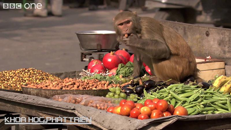 """Khỉ nâu (Rhesus macaques) đóng góp công sức vào việc giải nghĩa từ """"trò khỉ"""". Những sinh vật này đã tràn vào một ngôi làng ở Ấn Độ, đột nhập nhà dân để ăn cắp thực phẩm và… bơi lội. Ảnh: BBC"""