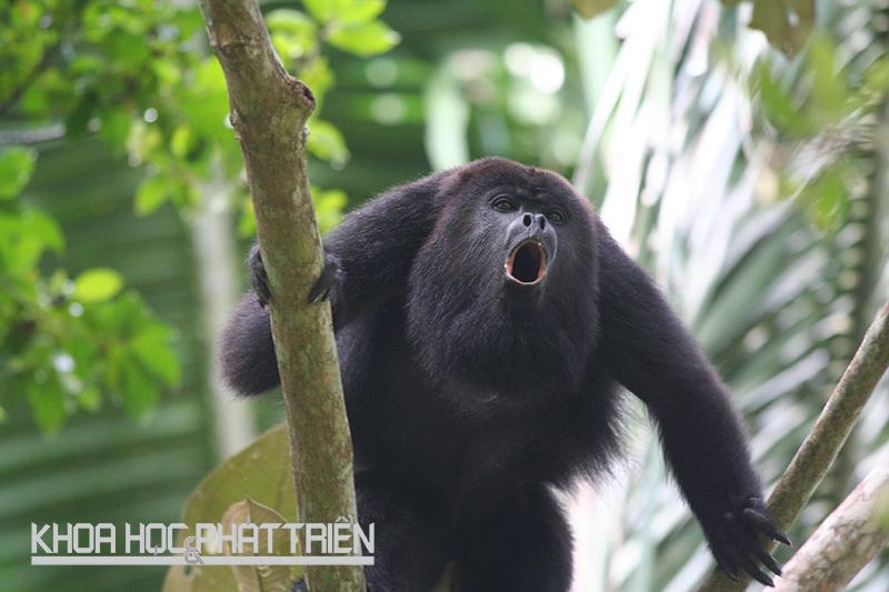 Tiếng gầm của loài khỉ rú có thể đạt tới 90 decibel và có thể nghe được từ khoảng cách 1,6km. Ảnh: Prezi