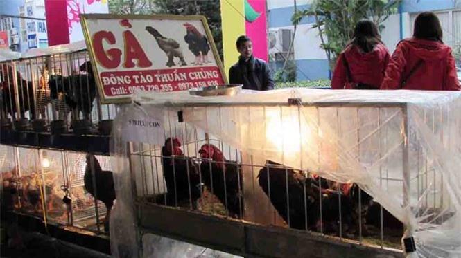 Giống gà Đông Tảo cũng được mang đến hội chợ Xuân năm nay.