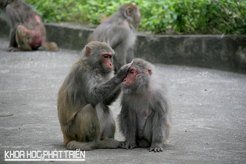Macaca Mulallata, tuổi thọ trung bình khoảng 30 năm. Khỉ mẹ mang thai 6 tháng và có thể đẻ 7-10 lứa.