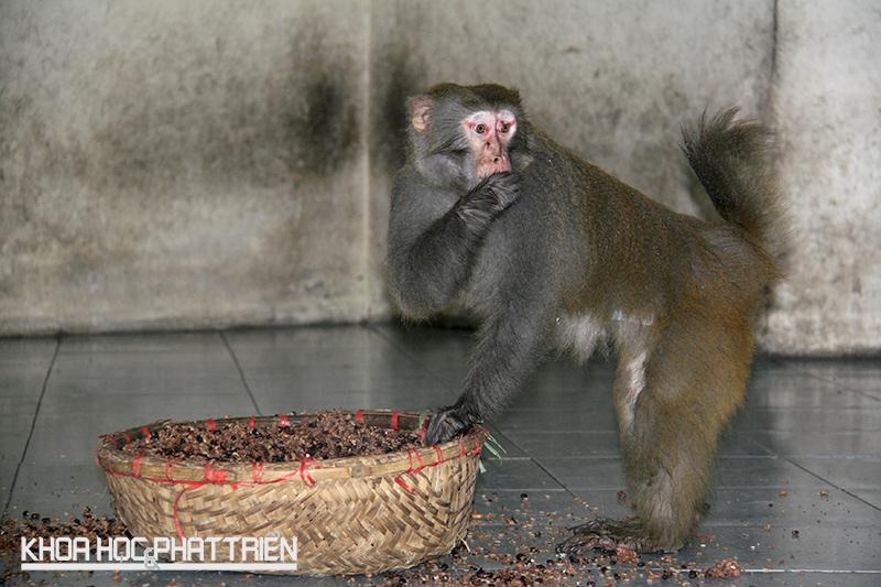 Tới giờ ăn, khỉ đầu đàn được ăn trước tiên. Để được ăn trước, chúng phải chiến thằng trong cuộc chiến với con đầu đàn của đàn khác.