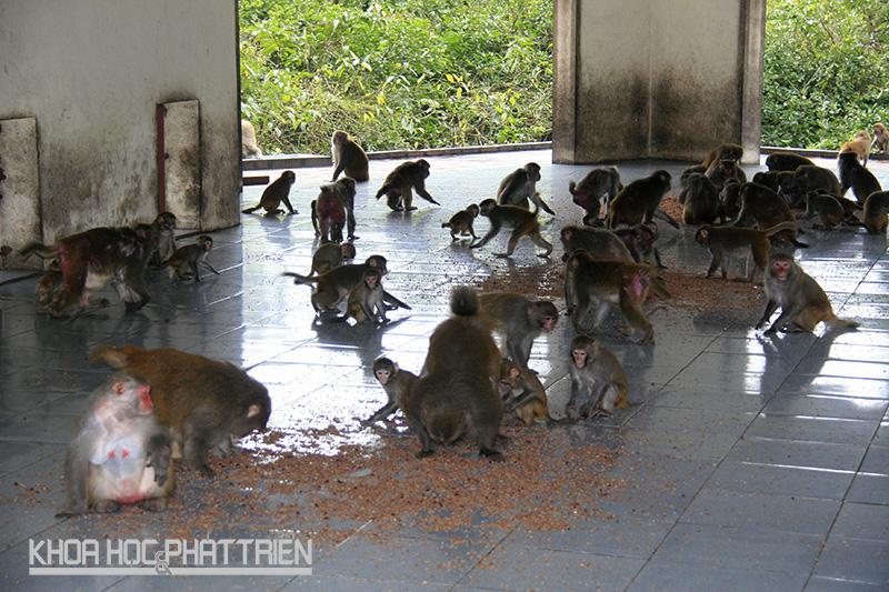 Khỉ vàng Macaca Mulallata sống theo đàn khoảng 40-50 con, mỗi đàn có 1 khỉ đực to khỏe nhất làm đầu đàn