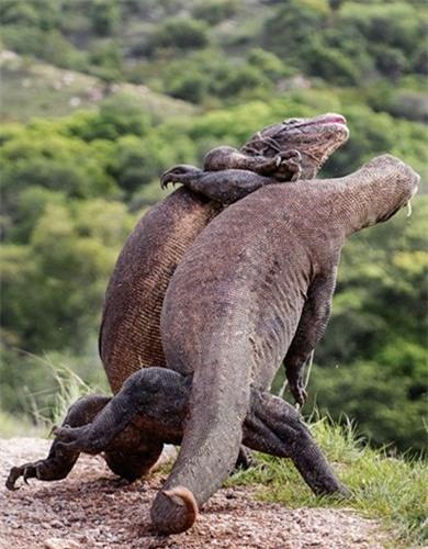 Rung minh tran chien hoang gia cua rong Komodo-Hinh-3