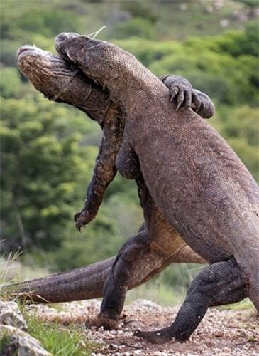 Rung minh tran chien hoang gia cua rong Komodo-Hinh-4