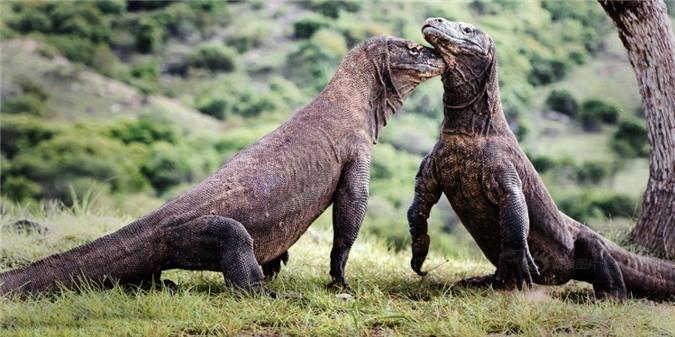 Rung minh tran chien hoang gia cua rong Komodo-Hinh-5