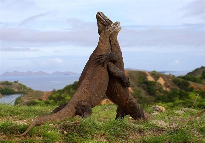 Rung minh tran chien hoang gia cua rong Komodo-Hinh-6