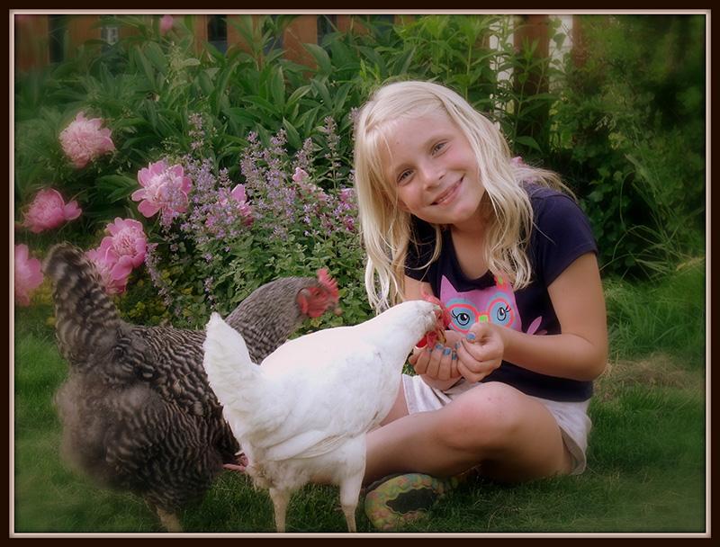 Nhiều người dân Vancouver nuôi gà tại sân nhà mình. Ảnh: Backyardchickens