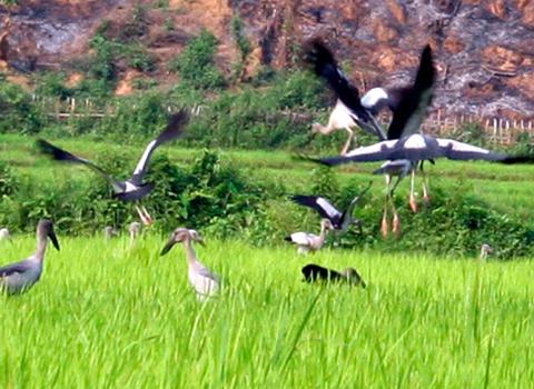 Hàng nghìn con Cò Nhạn xuất hiện tại nhiều địa phương thuộc tỉnh Điện Biên.