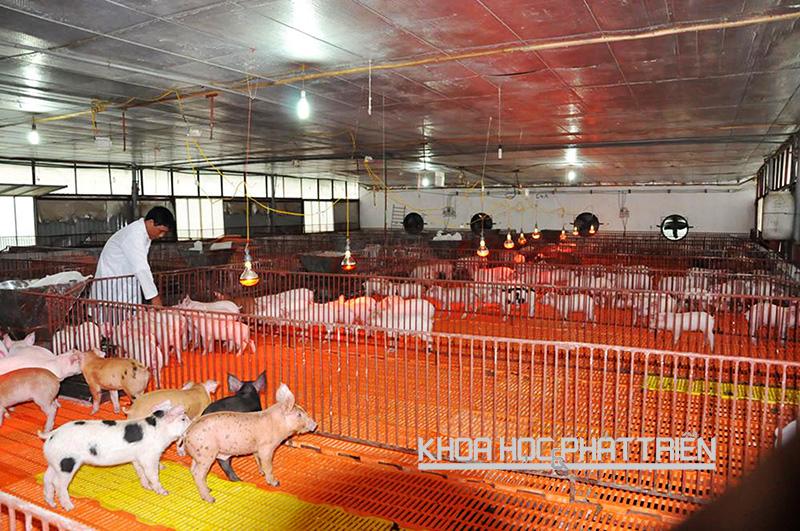 Khu hệ thống chuồng úm trong trang trại nuôi lợn của ông Nguyễn Trọng Long - xã Tân Ước, huyện Thanh Oai. Hệ thống được lắp các bóng đèn công nghệ cao vừa để dùng sưởi ấm, vừa sát trùng cho lợn giống.