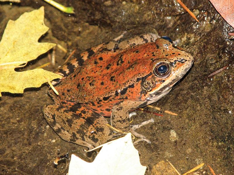 Loài ếch chân đỏ California (tên khoa học Rana draytonii). Ảnh: INT