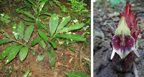 Cây và cụm hoa loài Zingiber skornickovae N.S. Lý. Ảnh: Lý Ngọc Sâm