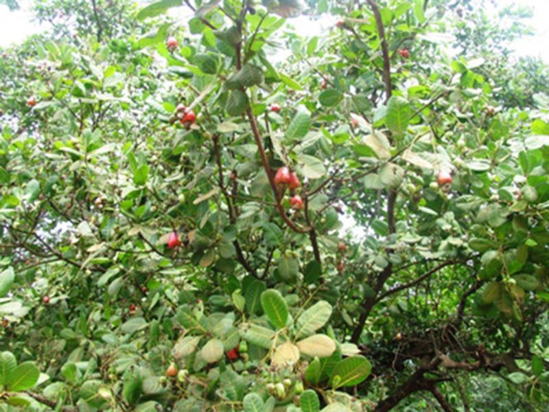 Năng suất cây điều tăng, sâu bệnh giảm nhiều nhờ áp dụng KHKT