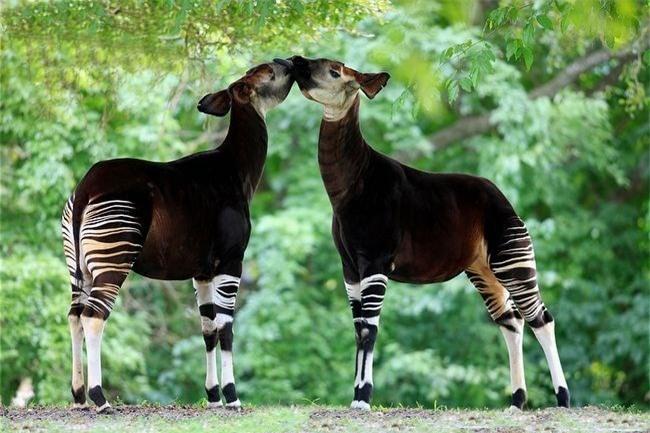 Okapi, loai dong vat ky la buoc ra tu chuyen co tich-Hinh-8