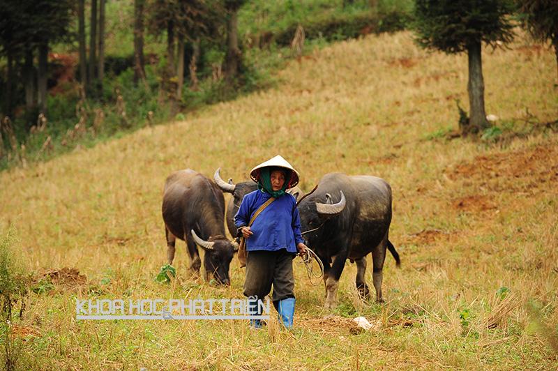 Một người dân Xí Mần (Hà Giang) phát triển kinh tế gia đình bằng chăn nuôi trâu bò.