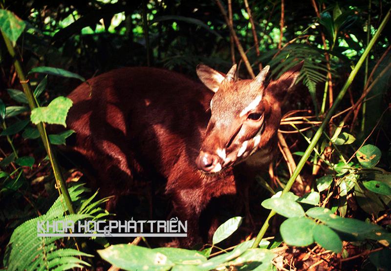 Một cá thể sao la được phát hiện năm 1998 tại Vườn quốc gia Pù Mát, Nghệ An. Ảnh: WWF - David Hulse