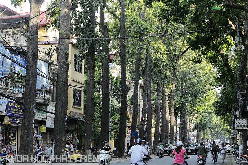 Chiêm ngưỡng hàng cây sao đen tuyệt đẹp trên phố Lò Đúc