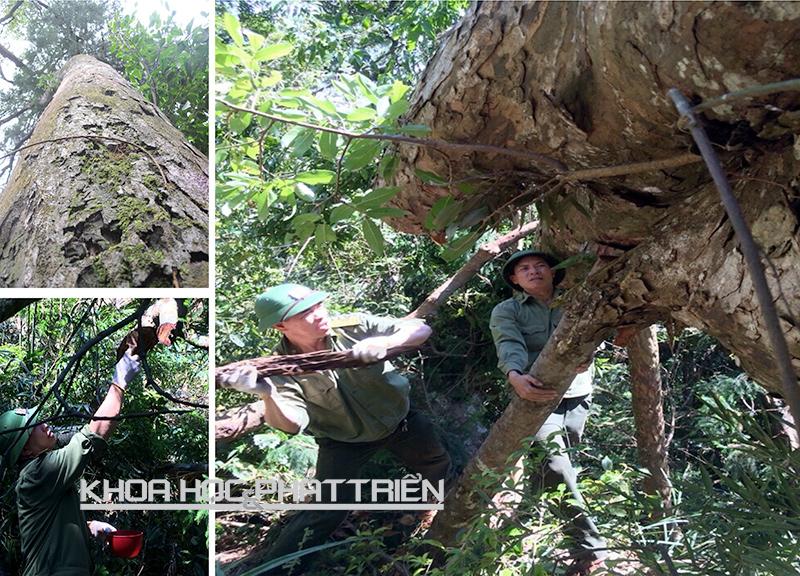 Các cán bộ Rừng quốc gia Yên Tử đang tiến hành giằng néo và bôi thuốc cho cây. Ảnh: N. Dược