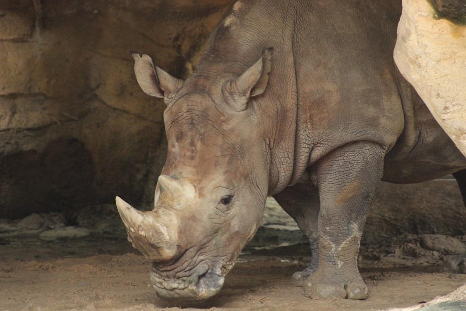 Tê giác chỉ còn được nhìn thấy ở các vườn thú tại Việt Nam. Ảnh: ENV
