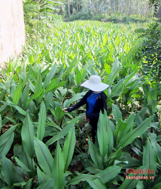 Nghệ đen phát triển tốt trên địa bàn Nghi Kiều (Nghi Lộc - Nghệ An)