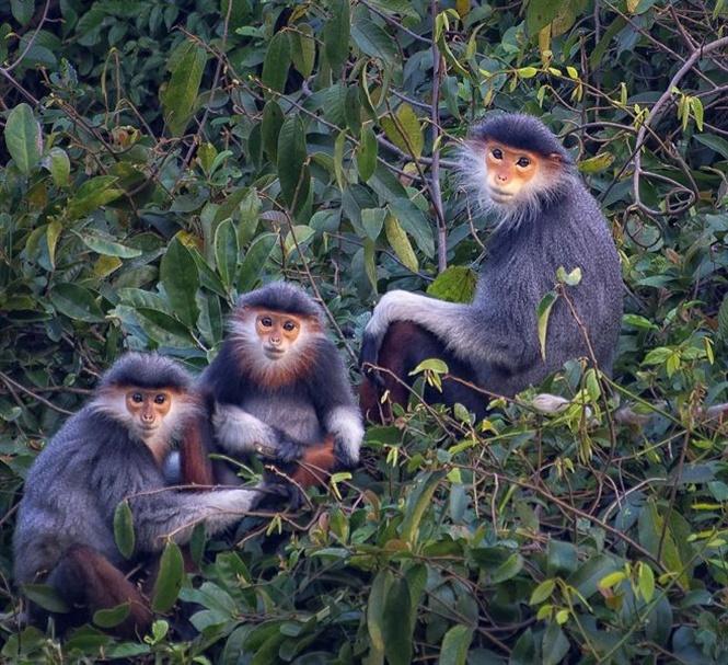 Loài Voọc ngũ sắc quý hiếm có tên trong sách đỏ Việt Nam và thế giới