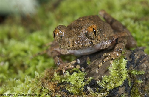 ếch Leptolalax isos