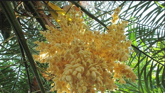 Mật hoa dừa là nguyên liệu chính để sản xuất rượu