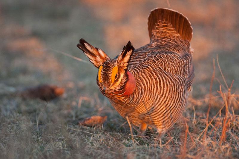 """Những giống gà có bề ngoài """"độc, lạ"""" nhất thế giới - H10"""