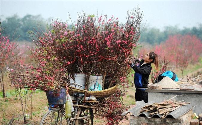 Cách chọn mua hoa đào