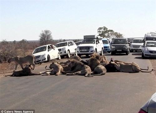 Giao thông tắc nghẽn vì đàn sư tử ăn trưa giữa đường - 1