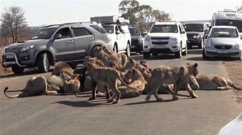 Giao thông tắc nghẽn vì đàn sư tử ăn trưa giữa đường - 2